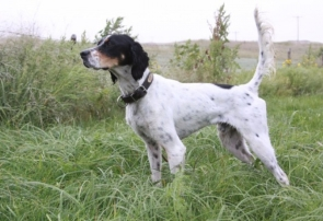 pointer-hound